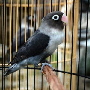 Tips menghasilkan Burung-Lovebird-Batman