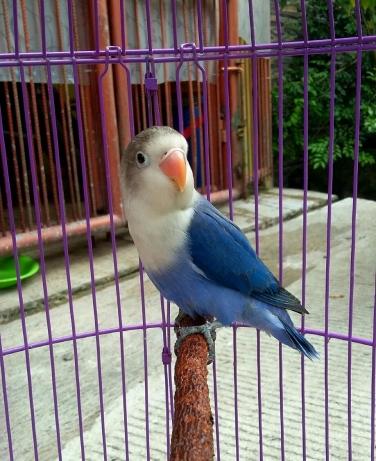 3 Tips Mencetak Lovebird Violet Terbaru