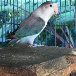 Cara Menghasilkan Lovebird Euwing Blue Series (Bs), Euwing Blue Fiscery