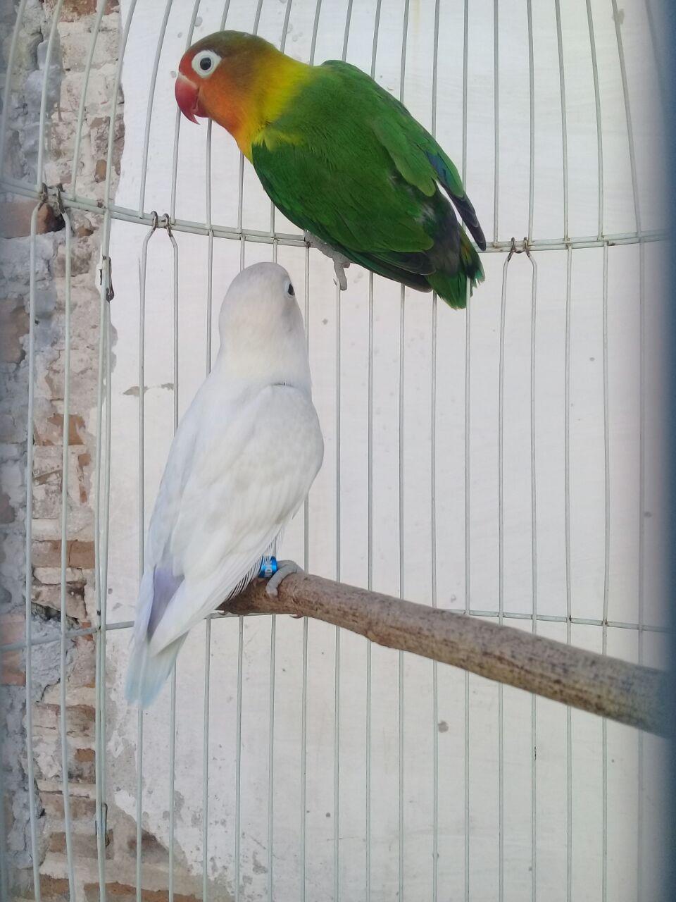 Sejarah Love Bird (Burung Cinta), Burung Paling Populer di Indonesia
